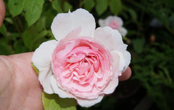 The Wedgwood Rose (DAVID AUSTIN)