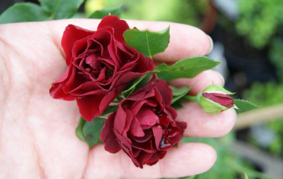 Полиантовая роза от Harkness
