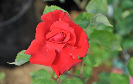 Роза ч/г Grande Amore / Kordes. 04.07.16