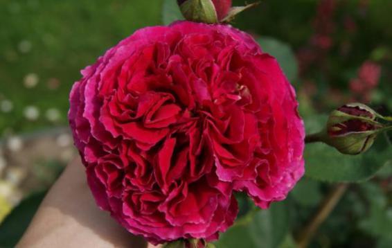 Английская роза Falstaff® (DAVID AUSTIN)