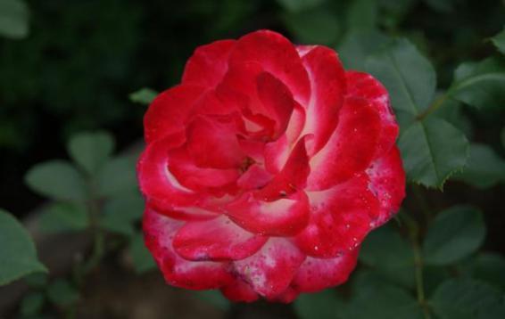 Роза Jubile du Prince de Monaco (Meilland, 2000)