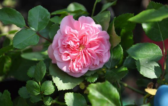 Роза Les Quatre Saisons / Meilland