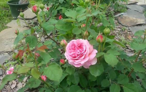 "Роза ""Princess Alexandra of Kent"""